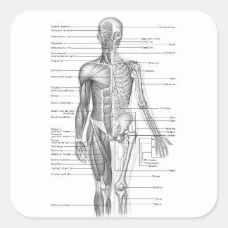 Human Anatomy Chart Square Sticker
