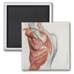 Human Anatomy; Muscles of the Torso and Shoulder 2 Inch Square Magnet