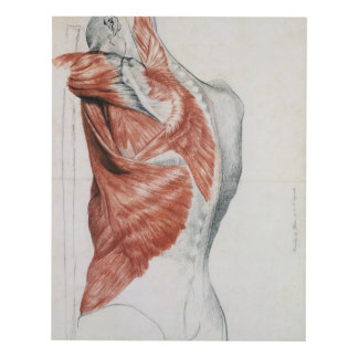 Human Anatomy; Muscles of the Torso and Shoulder Panel Wall Art
