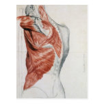 Human Anatomy; Muscles of the Torso and Shoulder Postcard