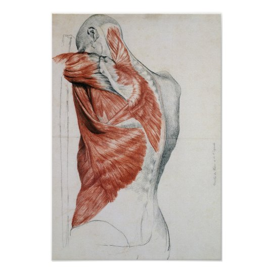 Human Anatomy Muscles Of The Torso And Shoulder Poster