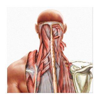 Human Anatomy Showing Deep Muscles In The Neck Canvas Print
