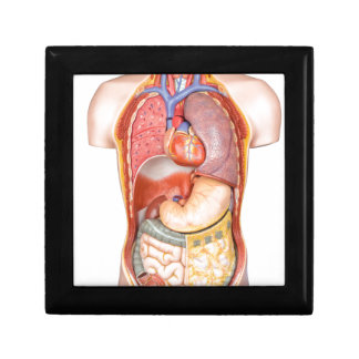 Human body model with organs isolated on white jewelry box
