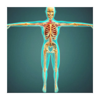 Human Body Showing Skeletal System, Arteries 1 Canvas Print