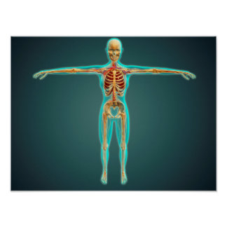 Human Body Showing Skeletal System, Arteries 1 Poster
