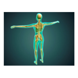 Human Body Showing Skeletal System, Arteries 2 Postcard