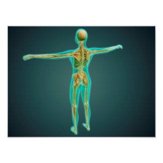 Human Body Showing Skeletal System, Arteries 2 Poster