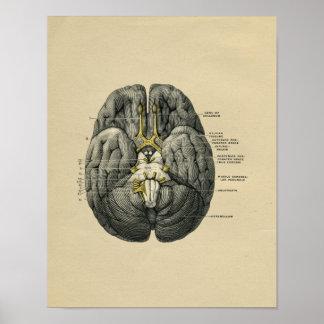 Human Brain Anatomy 1902 Vintage Print