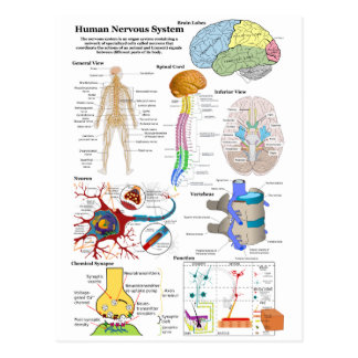 Human Brain and Central Nervous System Diagram Postcard