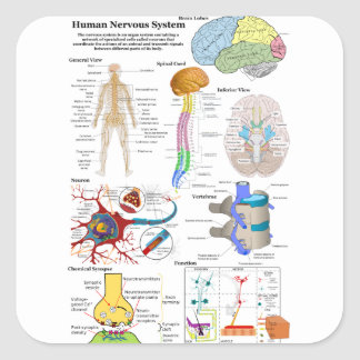 Human Brain and Central Nervous System Diagram Square Sticker