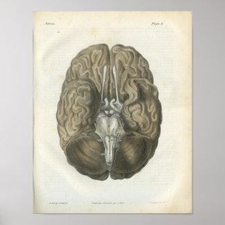 Human Brain Cranial Nerves Anatomy Print