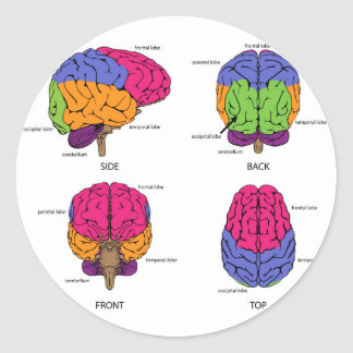 Human brain from all sides round sticker