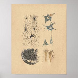 Human Brain Neuron Anatomy Vintage Print