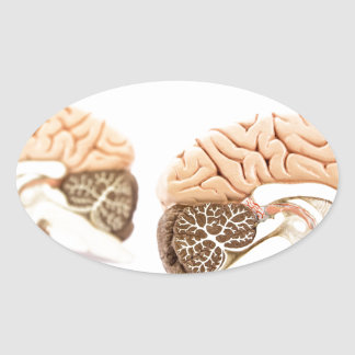 Human brains model isolated on white background oval sticker