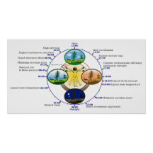 Human Circadian Rhythm Biological Sleep Clock Posters