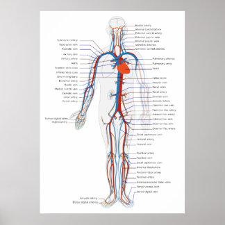 Human Circulatory System Anterior View Diagram Print