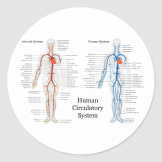 Human Circulatory System of Arteries and Veins Classic Round Sticker