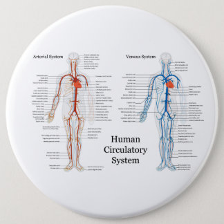 Human Circulatory System of Arteries and Veins Pinback Button