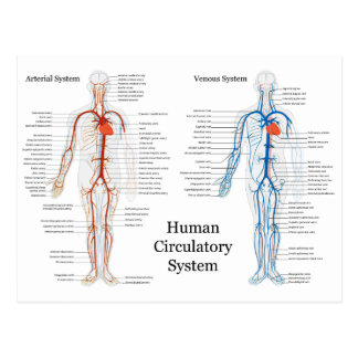 Human Circulatory System of Arteries and Veins Postcard