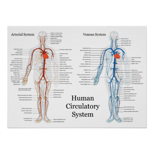sxqqsufd Blood vessels Arteries Veins Capillaries network ...