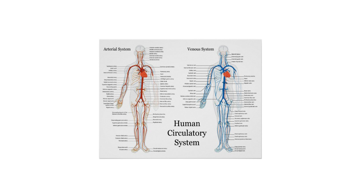 Human Circulatory System Of Arteries And Veins Poster Zazzle
