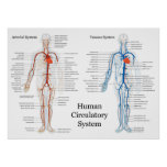 Human Circulatory System of Arteries and Veins Poster