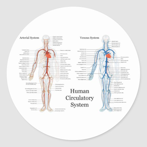 Human Circulatory System Of Arteries And Veins Classic