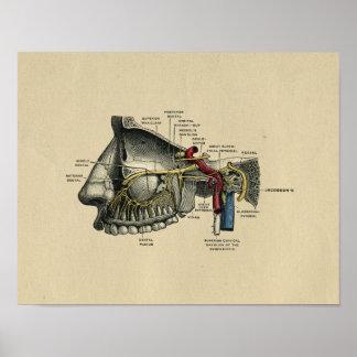 Human Dental Nerves Anatomy 1902 Vintage Print