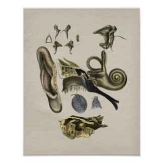 Human Ear Anatomy Vintage Print