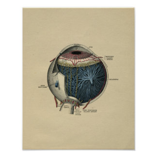 Human Eye Anatomy 1902 Vintage Print