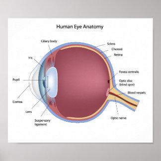 Human Eye Anatomy Poster
