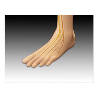 Human Foot With Nervous System 2 Postcard