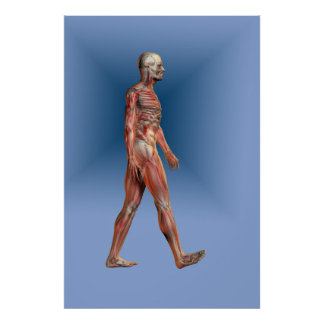 Human form showing skeleton and musculature poster