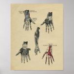 Human Hand Arm Anatomy 1902 Vintage Print