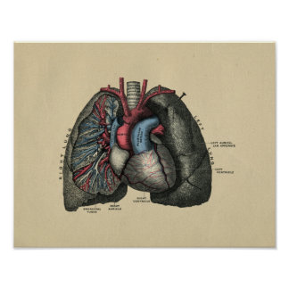 Human Heart and Lungs 1902 Vintage Print