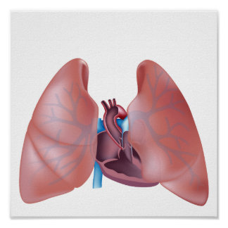 Human heart and lungs Poster