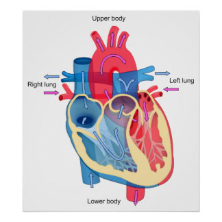 Human Heart Diagram Showing Blood Oxygen Pathways Poster