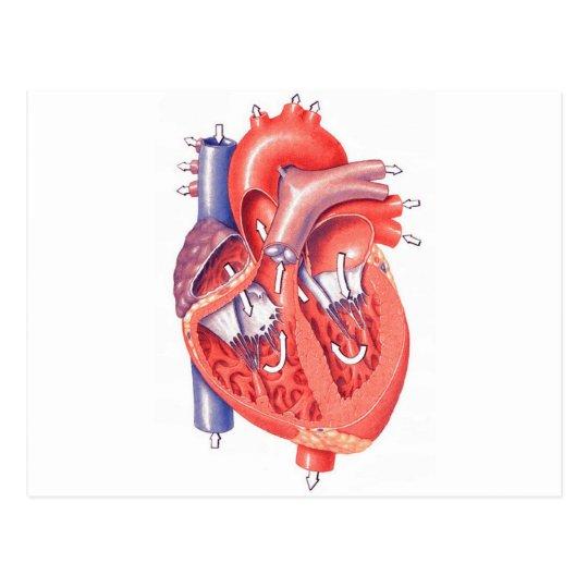 Human Heart Postcard
