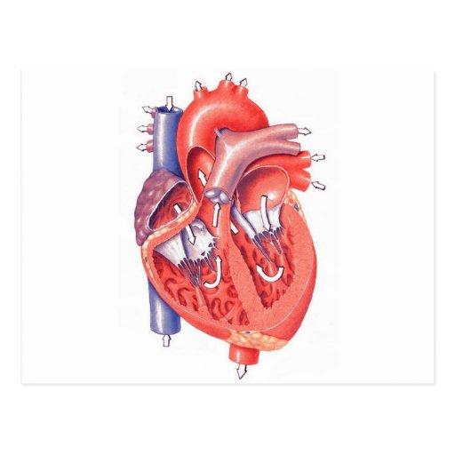 Human Heart Postcards
