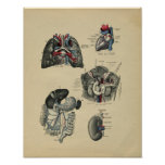 Human Internal Anatomy 1902 Vintage Print