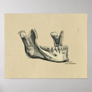 Human Jaw Anatomy 1902 Vintage Print