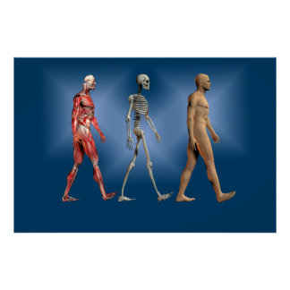 Human male figure with skeleton and musculature poster