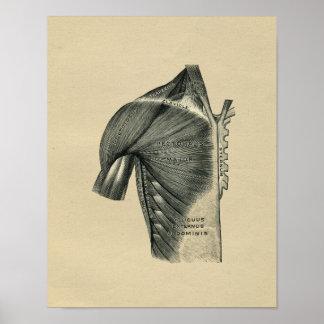 Human Muscle Anatomy 1902 Vintage Print