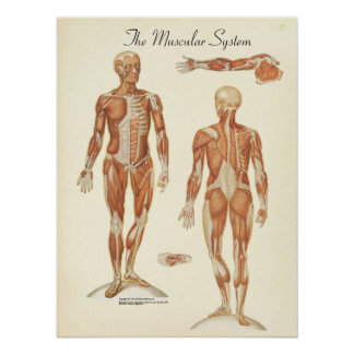 Human Muscle Anatomy Chart Poster