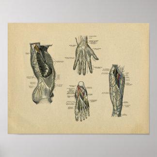 Human Nerves Anatomy 1902 Vintage Print