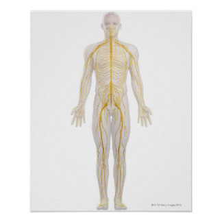 Human Nervous System 2 Poster
