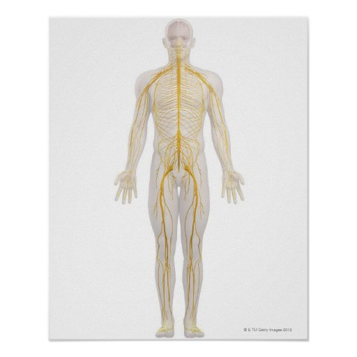 Human Nervous System 2 Posters