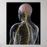 Human Nervous System Print