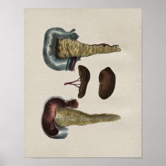 Human Pancreas Anatomy Vintage Print
