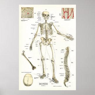 Human Skeletal Anatomy Poster 24 x 36